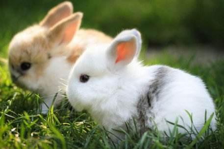 经济小动物--兔子